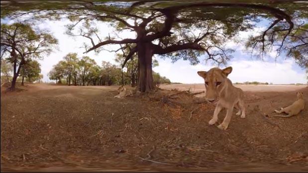 National Geographic vous propose de vous immerger au beau milieu d'un troupeau de lions. L'occasion de découvrir ces animaux fascinants dans leur habitat naturel.